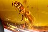 http://mczbase.mcz.harvard.edu/specimen_images/entomology/paleo/large/PALE-27700_Platypodinae_1.jpg