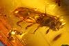 http://mczbase.mcz.harvard.edu/specimen_images/entomology/paleo/large/PALE-27700_Platypodinae_2.jpg