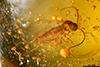 http://mczbase.mcz.harvard.edu/specimen_images/entomology/paleo/large/PALE-27701_syn2_Sciaridae.jpg