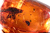 http://mczbase.mcz.harvard.edu/specimen_images/entomology/paleo/large/PALE-27711_Curculionidae_1.jpg