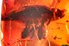 http://mczbase.mcz.harvard.edu/specimen_images/entomology/paleo/large/PALE-27711_syn1_Curculionidae.jpg