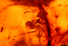 http://mczbase.mcz.harvard.edu/specimen_images/entomology/paleo/large/PALE-27712_syn11_Formicidae.jpg