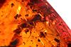 http://mczbase.mcz.harvard.edu/specimen_images/entomology/paleo/large/PALE-27712_syn1_Curculionidae.jpg