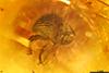 http://mczbase.mcz.harvard.edu/specimen_images/entomology/paleo/large/PALE-27713_syn1_Curculionidae.jpg