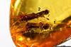 http://mczbase.mcz.harvard.edu/specimen_images/entomology/paleo/large/PALE-27717_Platypodinae.jpg