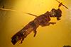 http://mczbase.mcz.harvard.edu/specimen_images/entomology/paleo/large/PALE-27719_Platypodinae.jpg