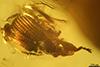 http://mczbase.mcz.harvard.edu/specimen_images/entomology/paleo/large/PALE-27728_Apioninae.jpg