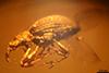 http://mczbase.mcz.harvard.edu/specimen_images/entomology/paleo/large/PALE-27729_Apioninae.jpg