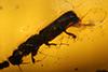 http://mczbase.mcz.harvard.edu/specimen_images/entomology/paleo/large/PALE-27735_syn1_Platypodinae.jpg