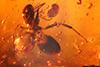 http://mczbase.mcz.harvard.edu/specimen_images/entomology/paleo/large/PALE-27736_syn2_Formicidae.jpg