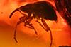 http://mczbase.mcz.harvard.edu/specimen_images/entomology/paleo/large/PALE-27738_Apioninae.jpg