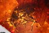 http://mczbase.mcz.harvard.edu/specimen_images/entomology/paleo/large/PALE-27744_syn4_Scolytinae.jpg