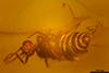 http://mczbase.mcz.harvard.edu/specimen_images/entomology/paleo/large/PALE-27745_syn22_Ceratopogonidae.jpg