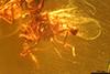 http://mczbase.mcz.harvard.edu/specimen_images/entomology/paleo/large/PALE-27745_syn5_Ceratopogonidae.jpg