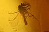 http://mczbase.mcz.harvard.edu/specimen_images/entomology/paleo/large/PALE-27745_syn7_Ceratopogonidae.jpg