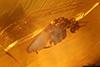 http://mczbase.mcz.harvard.edu/specimen_images/entomology/paleo/large/PALE-27746_syn14_Ceratopogonidae.jpg