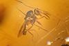 http://mczbase.mcz.harvard.edu/specimen_images/entomology/paleo/large/PALE-27746_syn15_Ceratopogonidae.jpg