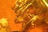 http://mczbase.mcz.harvard.edu/specimen_images/entomology/paleo/large/PALE-27746_syn20_Ceratopogonidae.jpg
