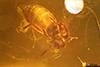http://mczbase.mcz.harvard.edu/specimen_images/entomology/paleo/large/PALE-27746_syn21_Ceratopogonidae.jpg