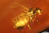 http://mczbase.mcz.harvard.edu/specimen_images/entomology/paleo/large/PALE-27746_syn4_Ceratopogonidae.jpg