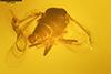 http://mczbase.mcz.harvard.edu/specimen_images/entomology/paleo/large/PALE-27746_syn8_Ceratopogonidae.jpg