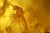 http://mczbase.mcz.harvard.edu/specimen_images/entomology/paleo/large/PALE-27747_syn12_Ceratopogonidae.jpg