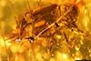 http://mczbase.mcz.harvard.edu/specimen_images/entomology/paleo/large/PALE-27747_syn1_Chrysomelidae.jpg