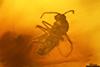 http://mczbase.mcz.harvard.edu/specimen_images/entomology/paleo/large/PALE-27747_syn5_Ceratopogonidae.jpg