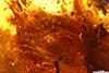 http://mczbase.mcz.harvard.edu/specimen_images/entomology/paleo/large/PALE-27756_Platypodinae_2.jpg
