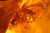 http://mczbase.mcz.harvard.edu/specimen_images/entomology/paleo/large/PALE-27756_syn15_Dolichopodidae.jpg