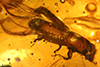 http://mczbase.mcz.harvard.edu/specimen_images/entomology/paleo/large/PALE-27758_syn1_Platypodinae.jpg
