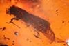 http://mczbase.mcz.harvard.edu/specimen_images/entomology/paleo/large/PALE-27760_syn2_Platypodinae.jpg