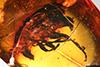 http://mczbase.mcz.harvard.edu/specimen_images/entomology/paleo/large/PALE-27762_Anthribidae.jpg