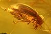 http://mczbase.mcz.harvard.edu/specimen_images/entomology/paleo/large/PALE-27764_syn1_Chrysomelidae.jpg
