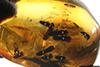 http://mczbase.mcz.harvard.edu/specimen_images/entomology/paleo/large/PALE-27771_Platypodinae_1.jpg