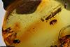 http://mczbase.mcz.harvard.edu/specimen_images/entomology/paleo/large/PALE-27771_Platypodinae_2.jpg