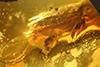 http://mczbase.mcz.harvard.edu/specimen_images/entomology/paleo/large/PALE-27771_syn14_Platypodinae.jpg