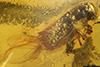 http://mczbase.mcz.harvard.edu/specimen_images/entomology/paleo/large/PALE-27771_syn1_Platypodinae.jpg