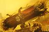 http://mczbase.mcz.harvard.edu/specimen_images/entomology/paleo/large/PALE-27771_syn2_Platypodinae.jpg