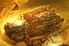 http://mczbase.mcz.harvard.edu/specimen_images/entomology/paleo/large/PALE-27771_syn4_Scolytinae.jpg