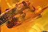 http://mczbase.mcz.harvard.edu/specimen_images/entomology/paleo/large/PALE-27771_syn5_Platypodinae.jpg
