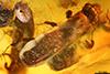 http://mczbase.mcz.harvard.edu/specimen_images/entomology/paleo/large/PALE-27771_syn6_Platypodinae.jpg