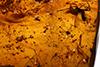 http://mczbase.mcz.harvard.edu/specimen_images/entomology/paleo/large/PALE-27803_Apocrita_1.jpg