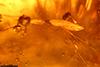 http://mczbase.mcz.harvard.edu/specimen_images/entomology/paleo/large/PALE-27803_syn14_Diptera_qm.jpg