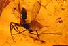 http://mczbase.mcz.harvard.edu/specimen_images/entomology/paleo/large/PALE-27803_syn1_Apocrita.jpg