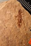 http://mczbase.mcz.harvard.edu/specimen_images/entomology/paleo/large/PALE-280_Parotermes_insignis_type.jpg