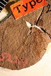 http://mczbase.mcz.harvard.edu/specimen_images/entomology/paleo/large/PALE-284_Parotermes_hagenii_type_2.jpg