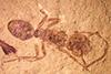 http://mczbase.mcz.harvard.edu/specimen_images/entomology/paleo/large/PALE-2876a_Archiponera_wheeleri_holotype.jpg