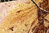 http://mczbase.mcz.harvard.edu/specimen_images/entomology/paleo/large/PALE-2877_Archiponera_wheeleri_allotype_2.jpg