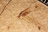 http://mczbase.mcz.harvard.edu/specimen_images/entomology/paleo/large/PALE-288_Leptobrochus_luteus_type.jpg